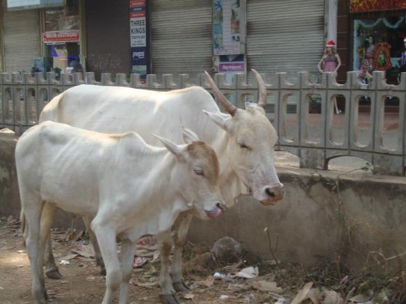 Goa India South North Cow