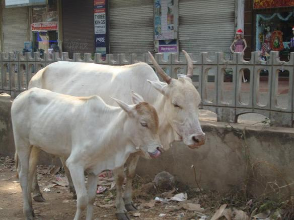 Goa India South North Cow
