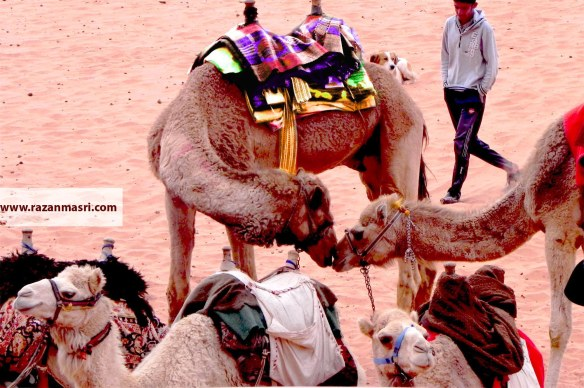 camels kissing with a fashionable seating cloth, camels in love in wadi rum jordan