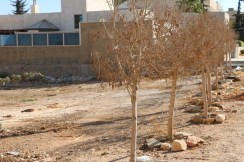 Tree in Amman Jordan