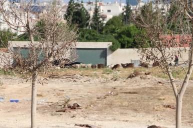 Sheep in Amman Jordan