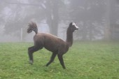 Lama playing and jumping in Jura mountains switzerland