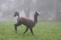 Lama playing and jumping in Jura mountains switzerland
