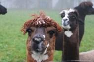 Lama saying hello close up