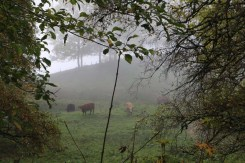 Foggy and cows Tannenheim Oberbalmberg, Solothurn (Switzerland)