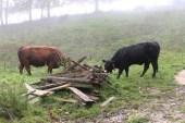 Cows Tannenheim Oberbalmberg, Solothurn (Switzerland)