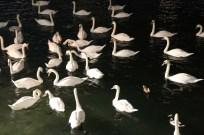 24 hours in Zurich Switzerland swans