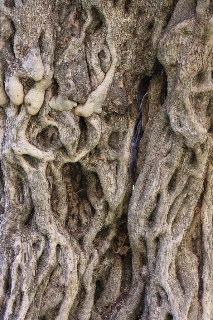 Ancient Roman Olive Trees in Wadi Rayan Wadi Yabis