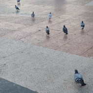 pigeons in barcelons