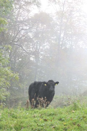 Black Cow at the Jura Mountains Switzerland