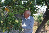 An old man picking oranges in a village next to Nazareth