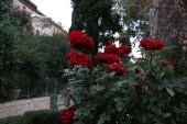 red roses The mill in jerusalem