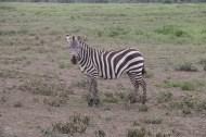 Zebra-tanzania-serengetti-safari-animal-jungle-46