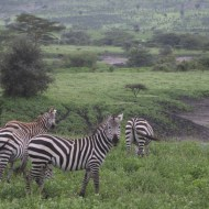 Zebra-tanzania-serengetti-safari-animal-jungle-46