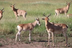 oryx, deer, jungle, tanzania, greenery, animal, wild