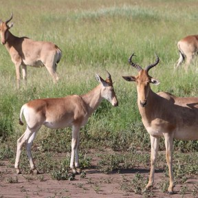 oryx, deer, jungle, tanzania, greenery, animal, wild