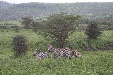 11-zebra-tanzania-serengetti-safari-animal-jungle-84