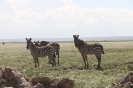 12-zebra-tanzania-serengetti-safari-animal-jungle-7