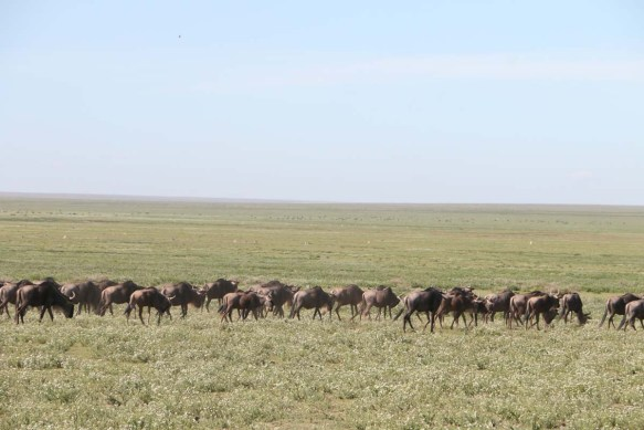 wild beast, jungle, wild, serengeti, tanzania, animal