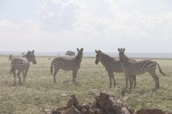 13-zebra-tanzania-serengetti-safari-animal-jungle-11