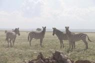13-zebra-tanzania-serengetti-safari-animal-jungle-11
