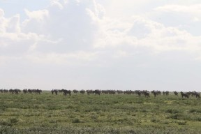 wild beast, jungle, wild, serengeti, tanzania, animal