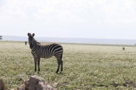 15-zebra-tanzania-serengetti-safari-animal-jungle-15