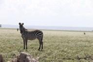 15-zebra-tanzania-serengetti-safari-animal-jungle-15