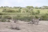 16-zebra-tanzania-serengetti-safari-animal-jungle-49