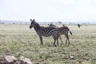 17-zebra-tanzania-serengetti-safari-animal-jungle-9