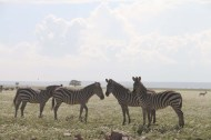 18-zebra-tanzania-serengetti-safari-animal-jungle-12