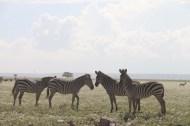 18-zebra-tanzania-serengetti-safari-animal-jungle-12