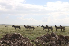 19.5-zebra-tanzania-serengetti-safari-animal-jungle-8