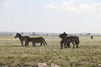 19-zebra-tanzania-serengetti-safari-animal-jungle-16