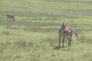 2.5-zebra-tanzania-serengetti-safari-animal-jungle-2
