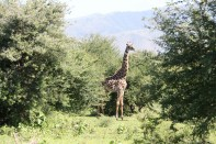 giraffe, wild, tanzania, jungle, safari,