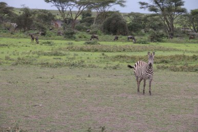 2-zebra-tanzania-serengetti-safari-animal-jungle-72