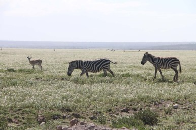 20.4zebra-tanzania-serengetti-safari-animal-jungle-19