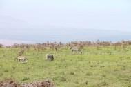 20.5-zebra-tanzania-serengetti-safari-animal-jungle-5