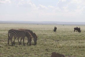 20-zebra-tanzania-serengetti-safari-animal-jungle-20