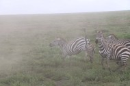 21-zebra-tanzania-serengetti-safari-animal-jungle-31