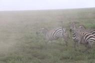 21-zebra-tanzania-serengetti-safari-animal-jungle-31