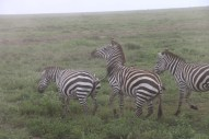 22-zebra-tanzania-serengetti-safari-animal-jungle-30