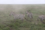 23-zebra-tanzania-serengetti-safari-animal-jungle-32
