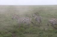 23-zebra-tanzania-serengetti-safari-animal-jungle-32