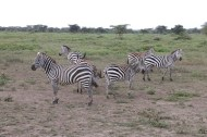 25-zebra-tanzania-serengetti-safari-animal-jungle-47