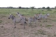 25-zebra-tanzania-serengetti-safari-animal-jungle-47
