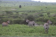 26-zebra-tanzania-serengetti-safari-animal-jungle-85