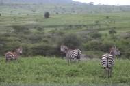 26-zebra-tanzania-serengetti-safari-animal-jungle-85