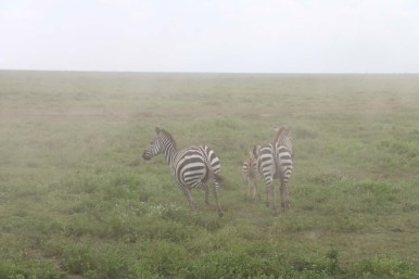 28-zebra-tanzania-serengetti-safari-animal-jungle-33